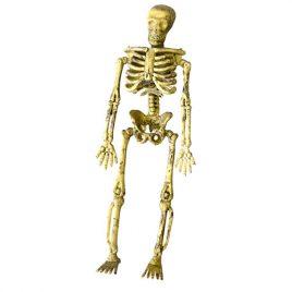 Squelette articulé